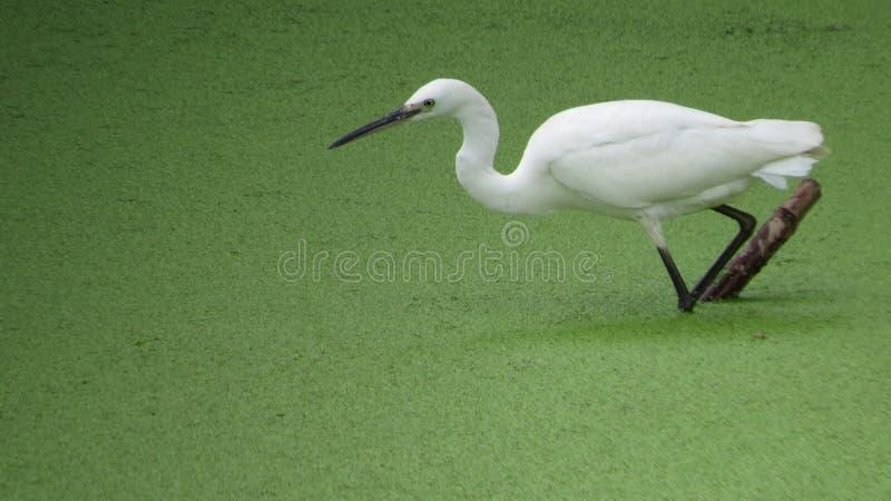 egret стоковая фотография
