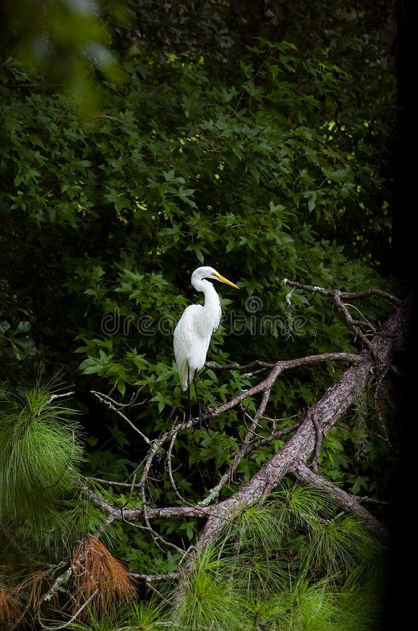 egret fotografering för bildbyråer