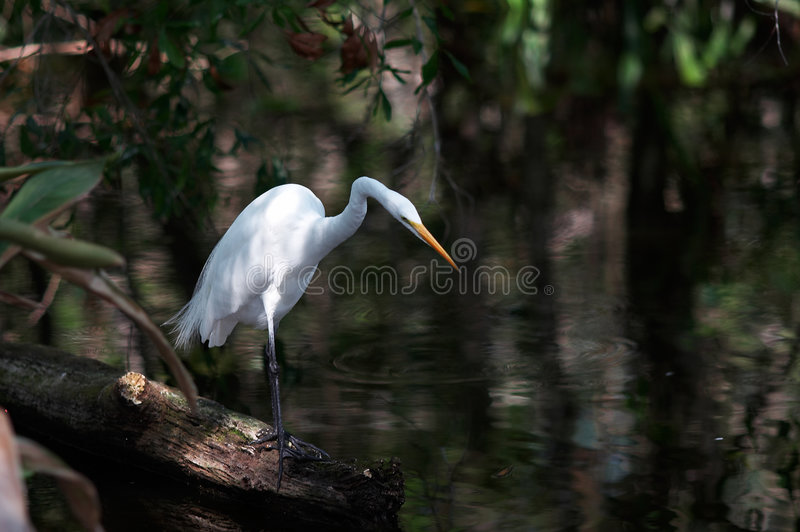 Egret, royalty free stock images