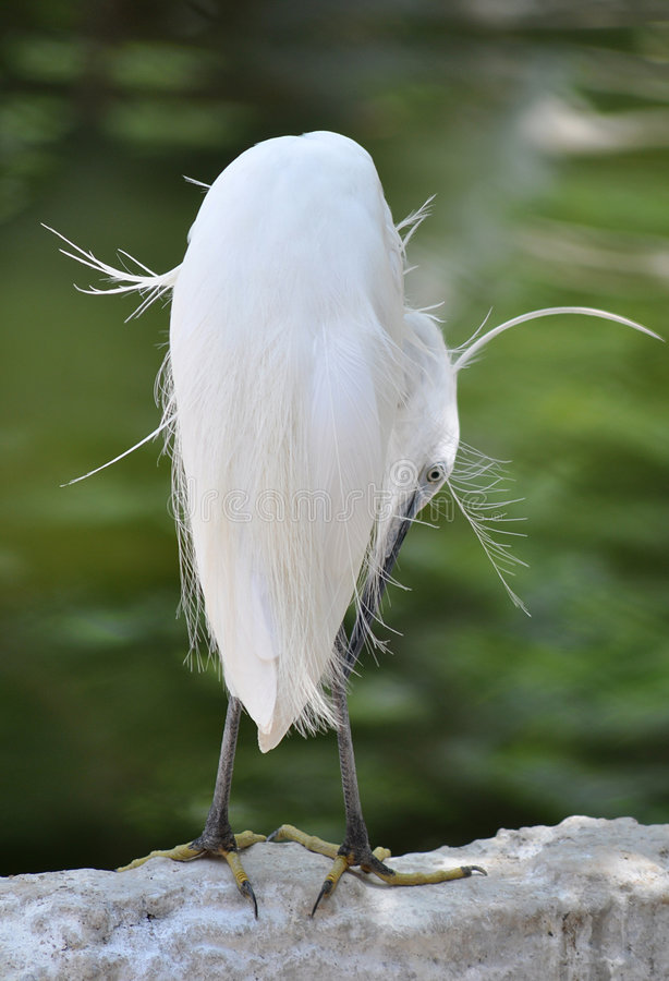 Download Egret stock photo. Image of feather, peacock, birds, white - 9146970