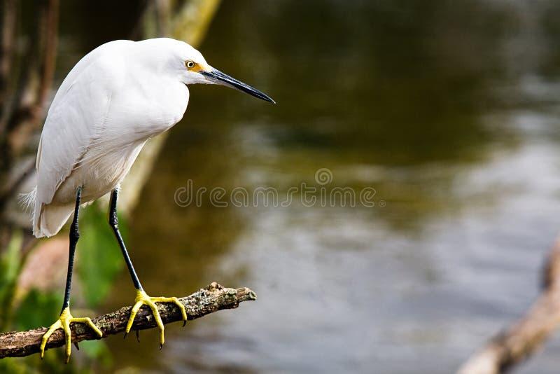 Egret imagens de stock