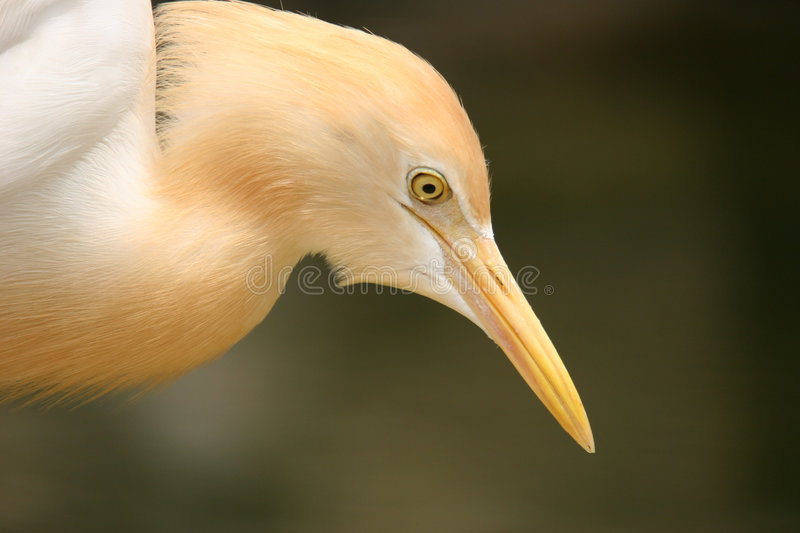 Download Egret stock image. Image of avian, paradise, face, behavior - 999315