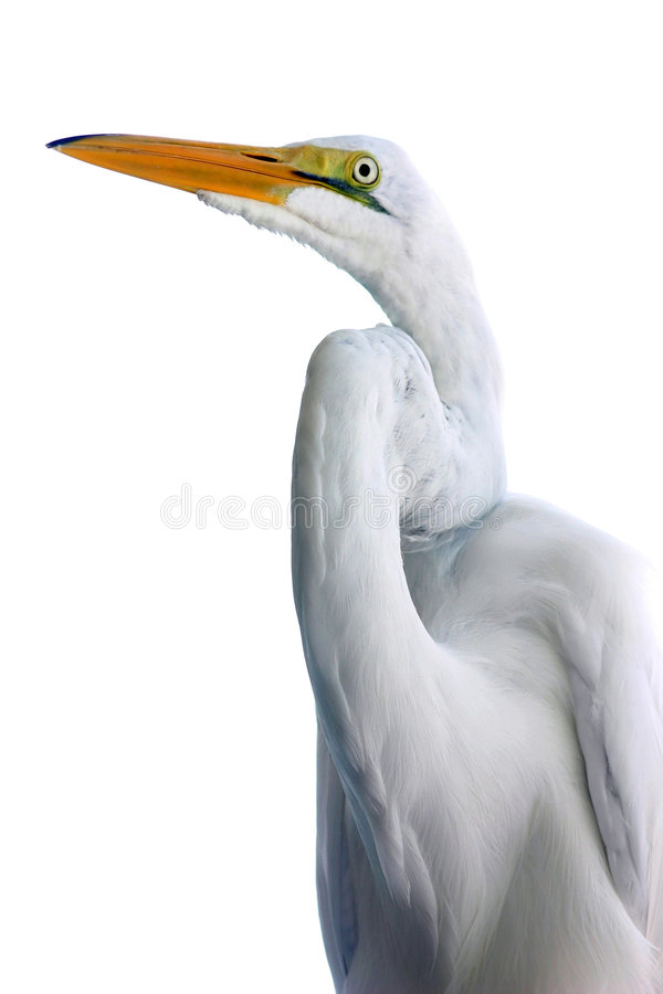 Egret against white stock photography