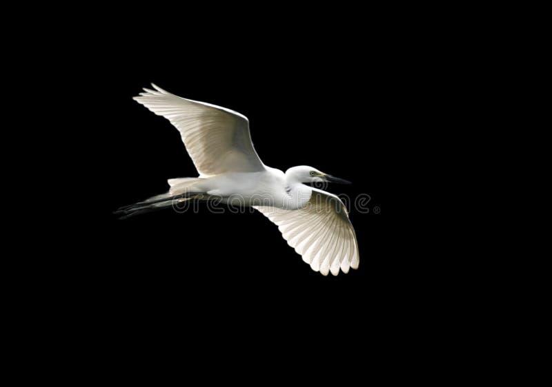 Egret angelical imagen de archivo libre de regalías