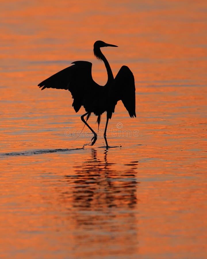 Egret avermelhado Silhoeutte no console de Sanibel do por do sol foto de stock