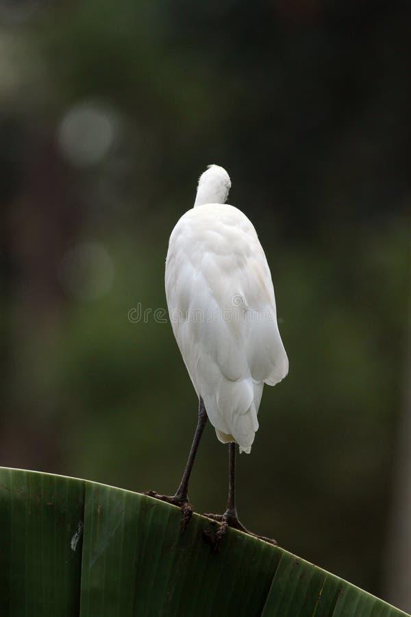 Egret,the Bald White- Back !! stock photography