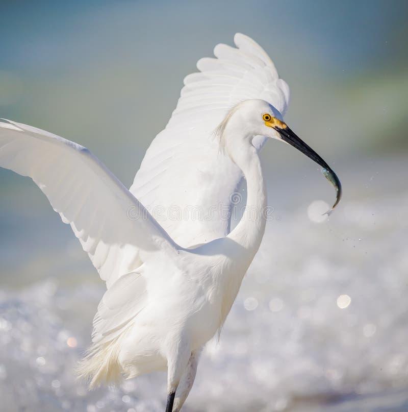 Egret bem sucedido do branco da pesca imagem de stock