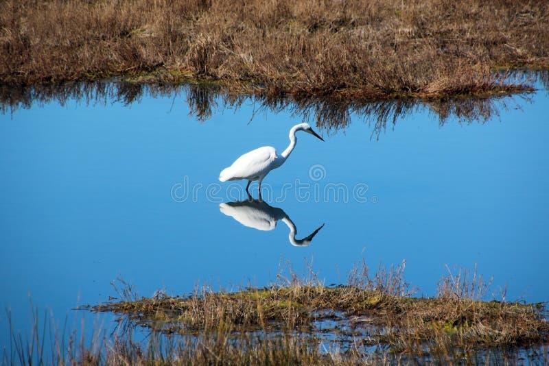 Egret bianco Dainty in lago blu fotografie stock