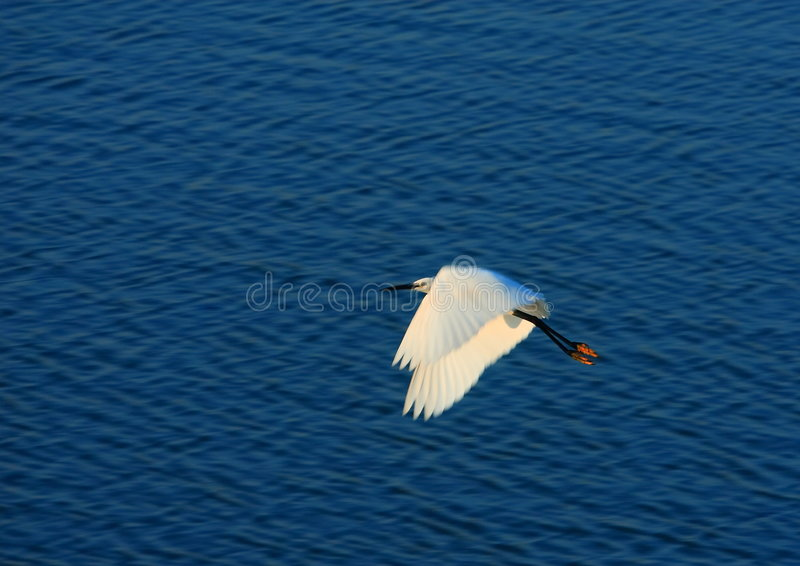 Download Egret Bird stock photo. Image of chica, birds, ardea, beach - 3070400