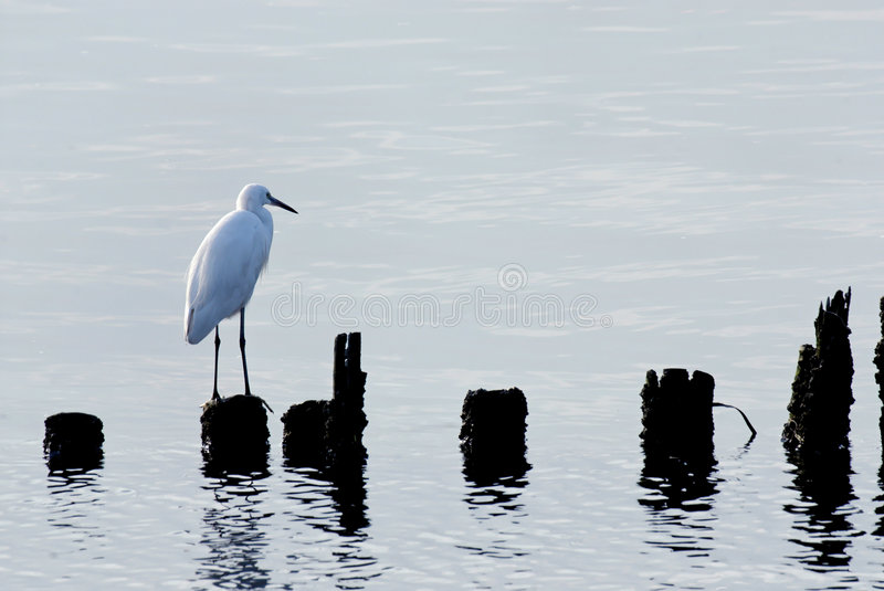 Egret bird royalty free stock images