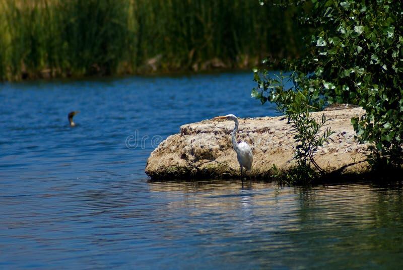 Egret blanco por el lago fotos de archivo libres de regalías