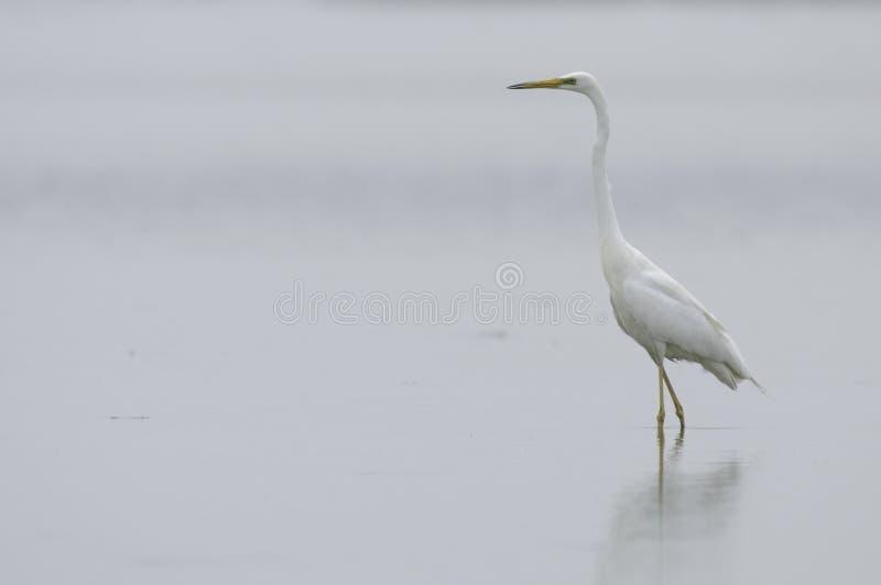 Egret branco fotografia de stock royalty free