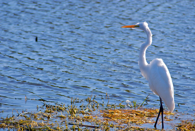 Egret branco foto de stock royalty free