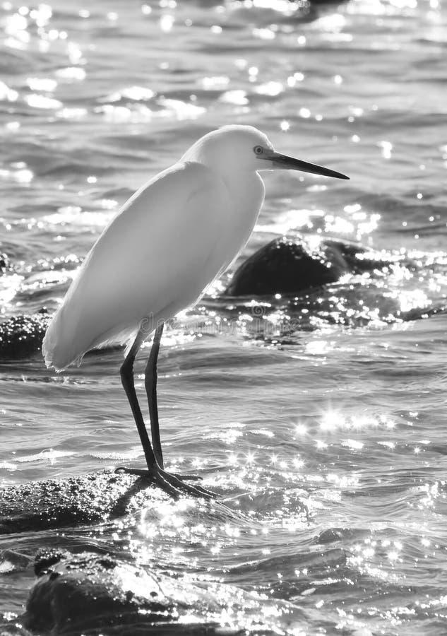 Egret branco fotografia de stock
