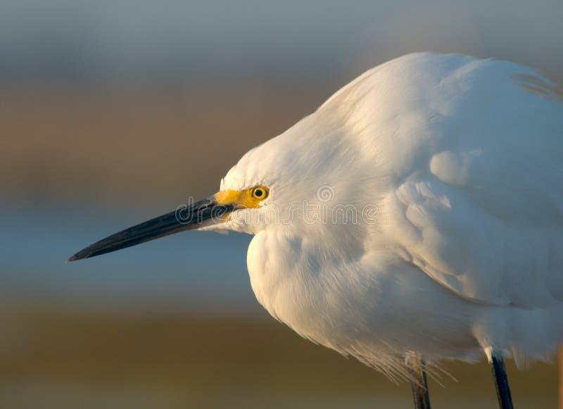 Egret branco nevado fotografia de stock royalty free