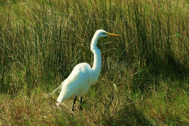 Egret branco no pântano fotos de stock royalty free