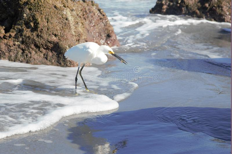 An Egret Casually Eats Its Fresh Caught Lunch on Boca Beach. The beach rocks are perfect for hunting if you`re an egret in South Florida royalty free stock image