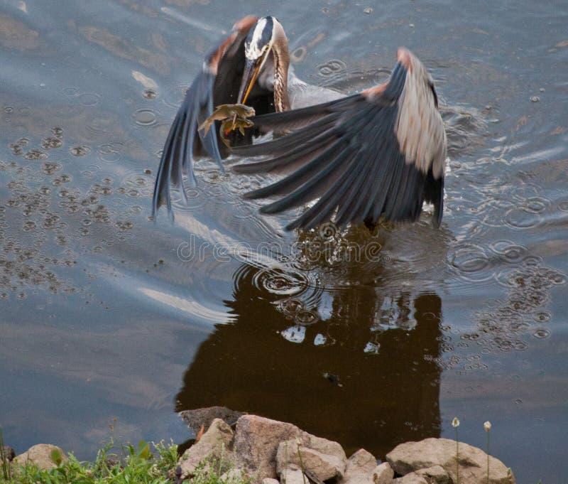 Egret catches 2 fish royalty free stock photo