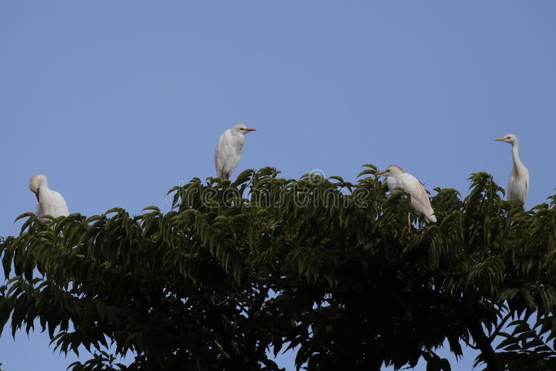 Egret. Cattle Egret in breeding plumage in Hawai`i royalty free stock photos