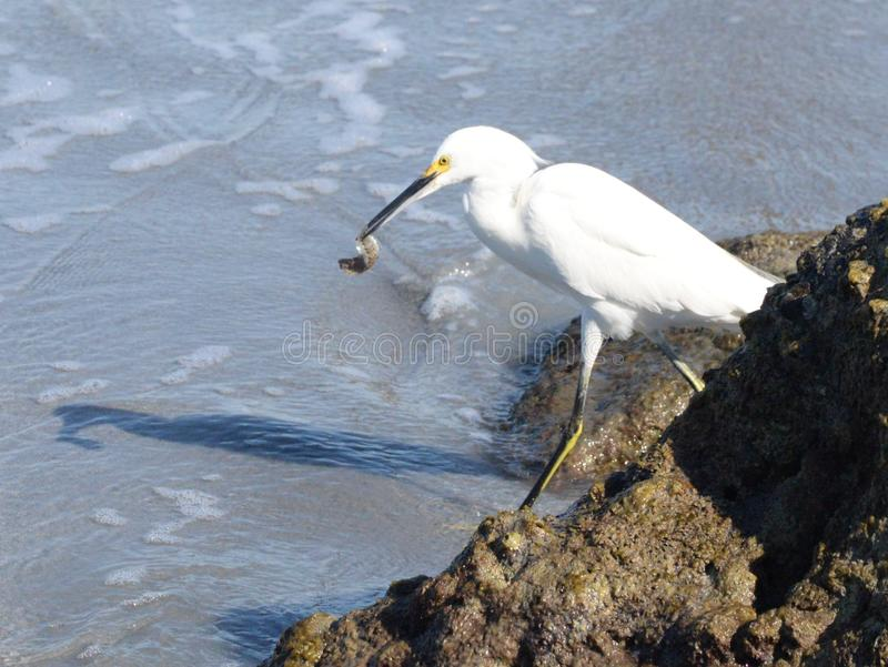 An Egret Celebrates Its Good Fortune at the Beach. The Egret is among many South Florida Seabirds that hunt the Boca Beach Shoreline with much success stock images