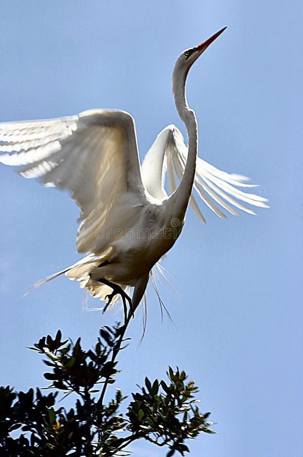 Egret che cattura volo fotografie stock