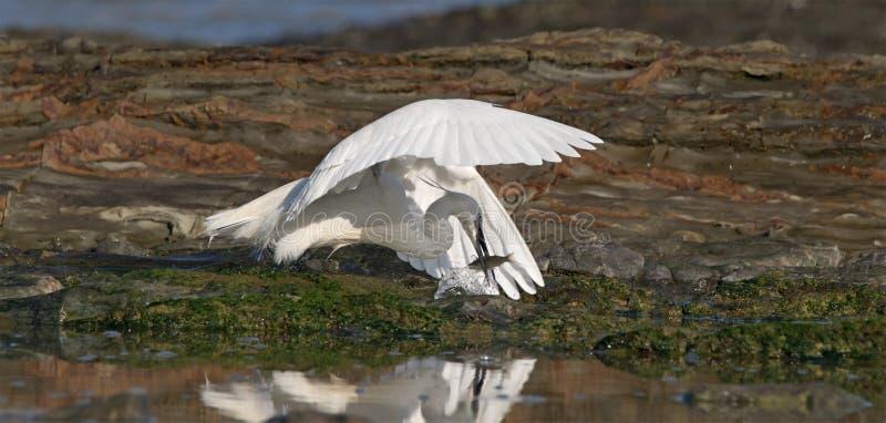 Egret com refeição foto de stock