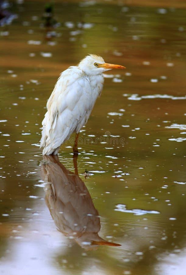 Egret com reflexão