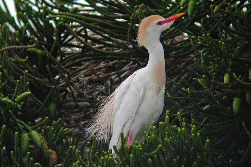 Egret de gado, íbis do Bubulcus, na árvore imagem de stock