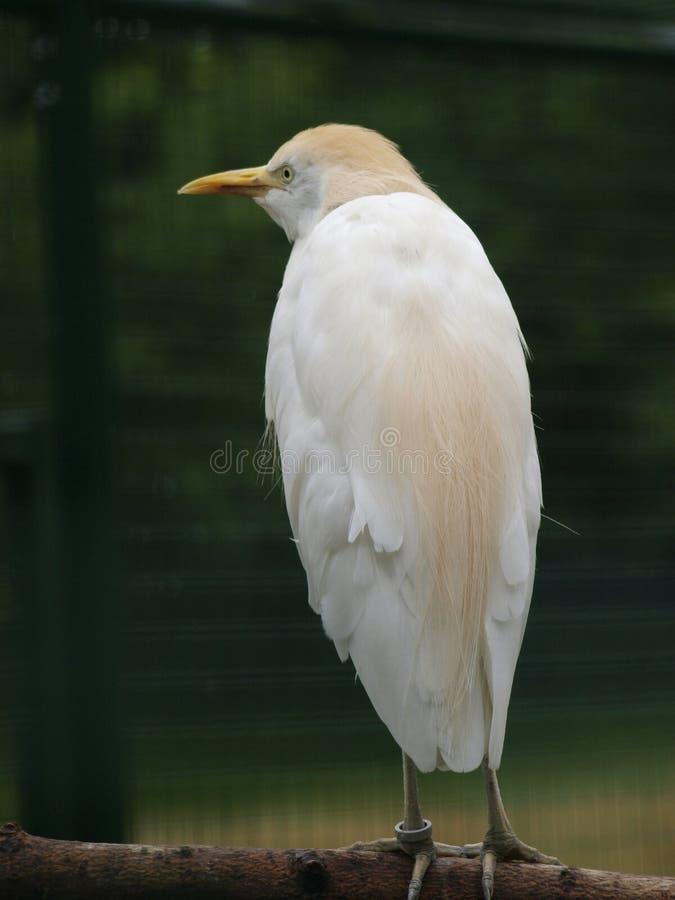 Egret de gado imagem de stock royalty free