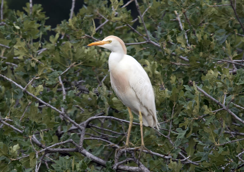 Egret de gado empoleirado em uma árvore fotografia de stock