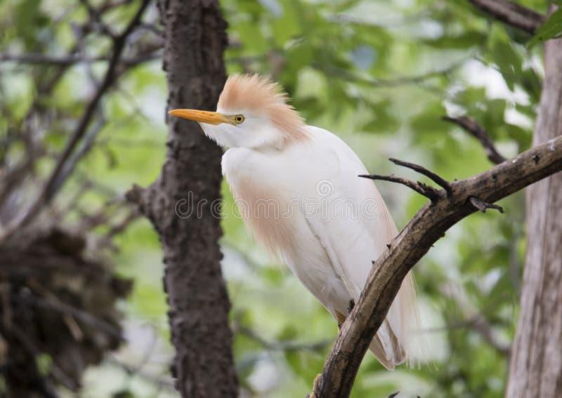 Egret de gado empoleirado em uma árvore foto de stock royalty free