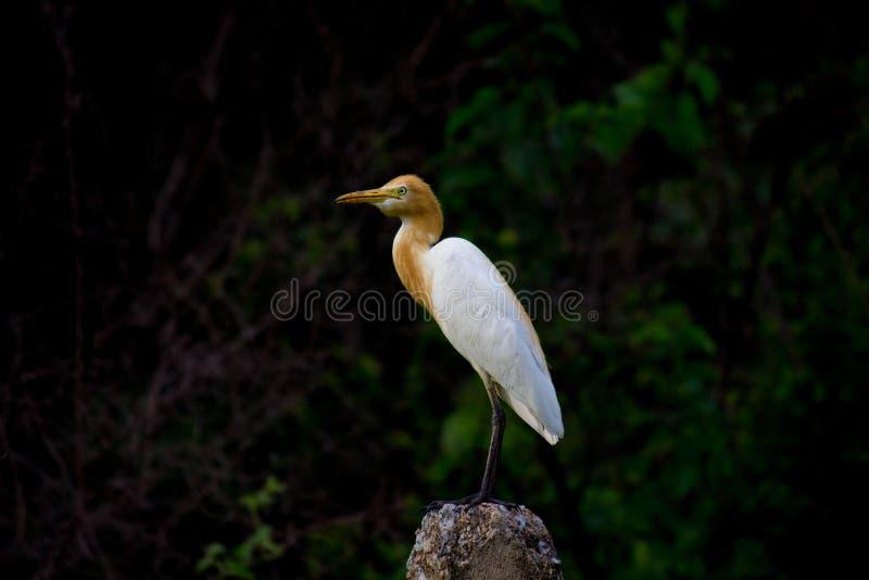 Egret de gado no jardim em seu habitat natural imagem de stock royalty free