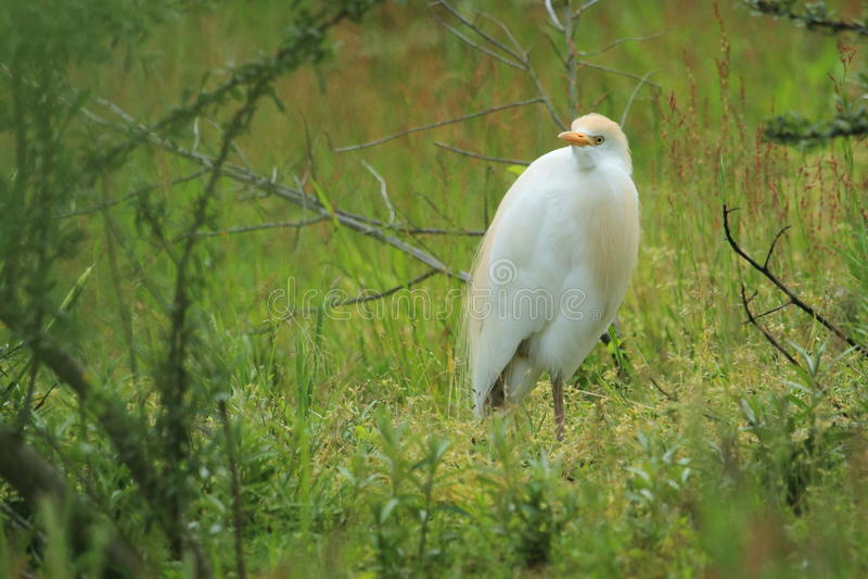 Egret de gado ocidental fotografia de stock royalty free