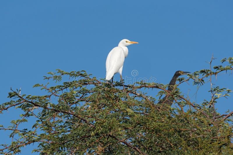 Egret de gado ocidental e um cormorão de lingüeta em uma árvore fotos de stock