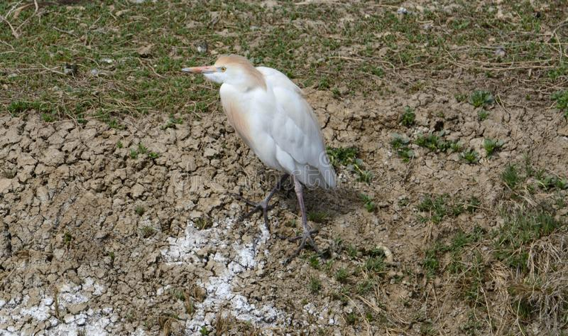 Egret de gado ocidental na costa do lago fotos de stock royalty free