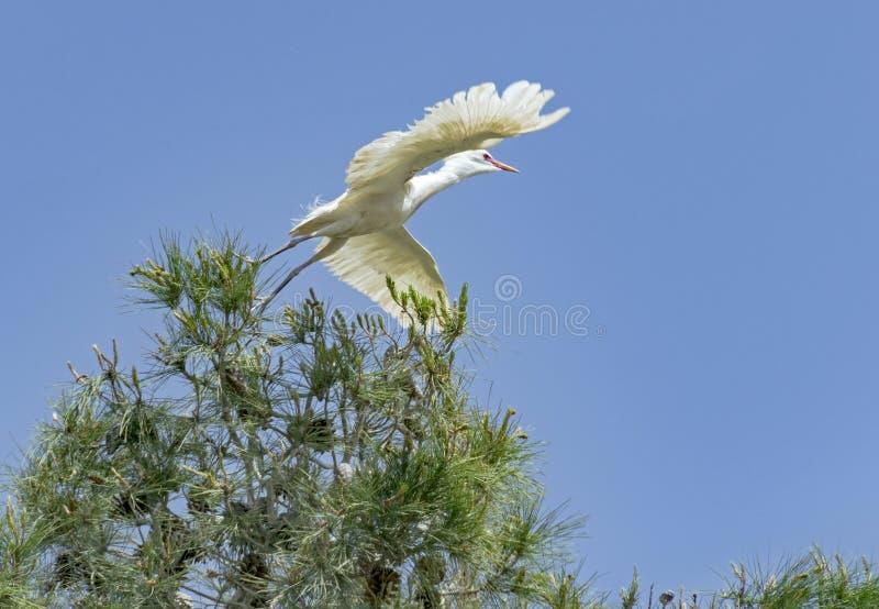 Egret de gado que decola de um pinheiro imagem de stock royalty free