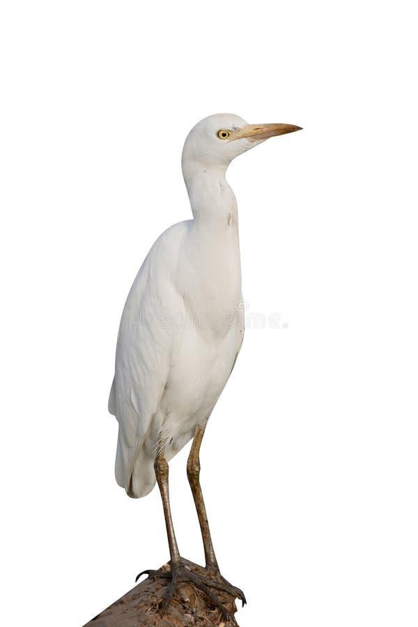 Egret de ganado, Bubulcus ibis foto de archivo libre de regalías