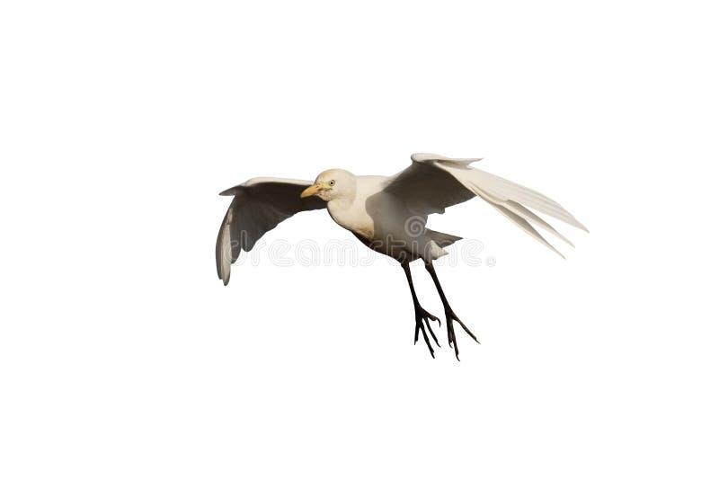 Egret de ganado, Bubulcus ibis imagen de archivo libre de regalías