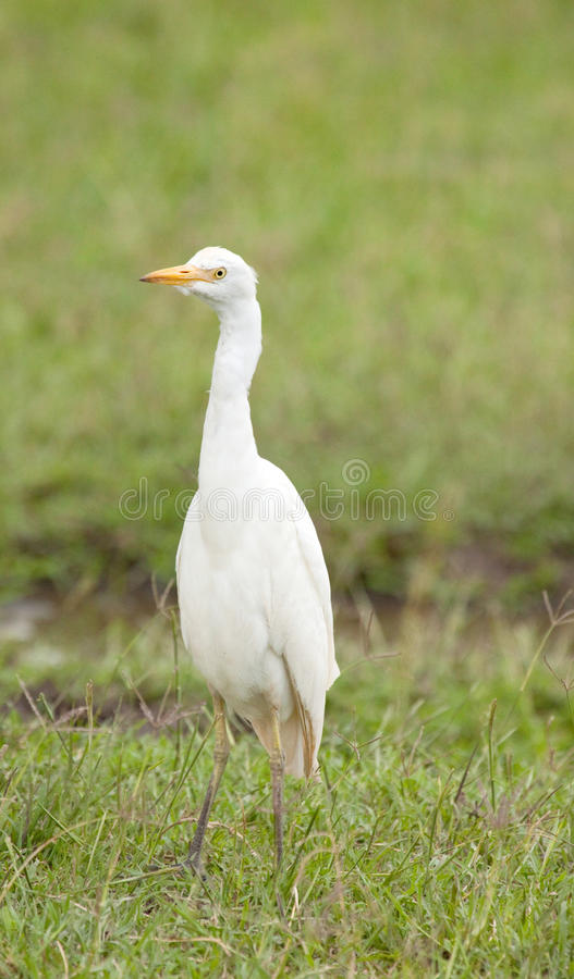 Egret de ganado solitario imagenes de archivo