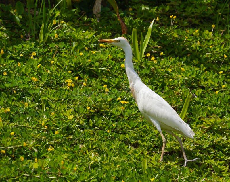 Egret de Havaí em um campo de verde e de amarelo imagens de stock royalty free