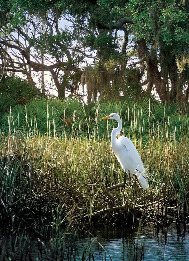 Egret del pantano fotos de archivo