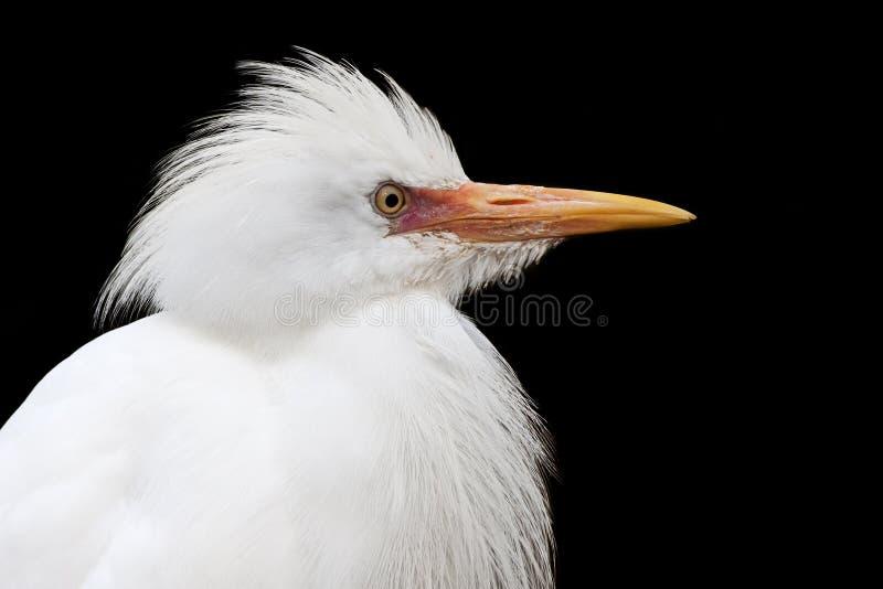 Egret di bestiame immagini stock