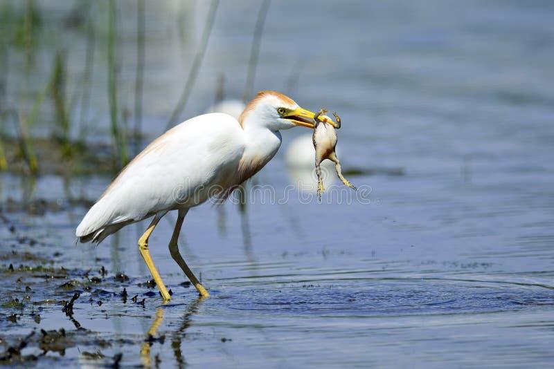 Egret di bestiame con la rana immagini stock