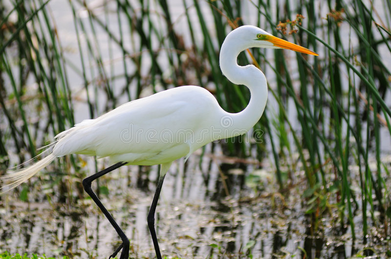 Download Egret di Snowy immagine stock. Immagine di everglades - 7319489