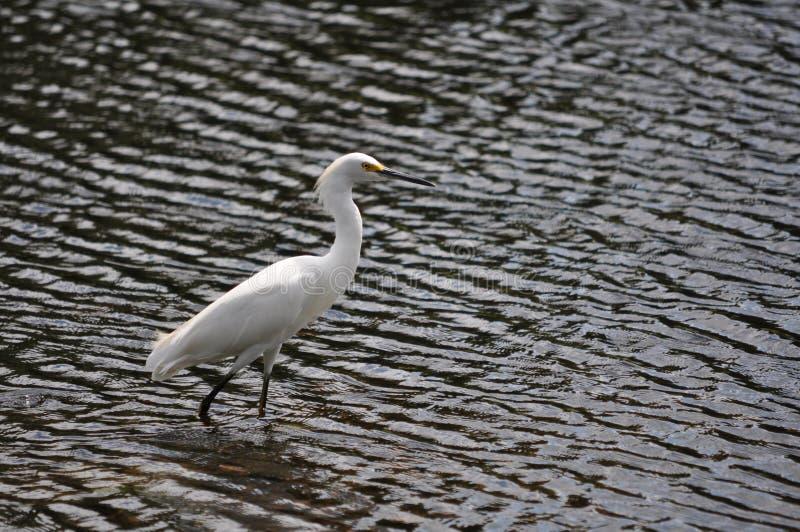 Egret di Snowy che guada fotografia stock libera da diritti