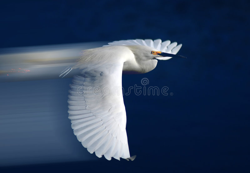 Egret di Snowy durante il volo fotografia stock libera da diritti