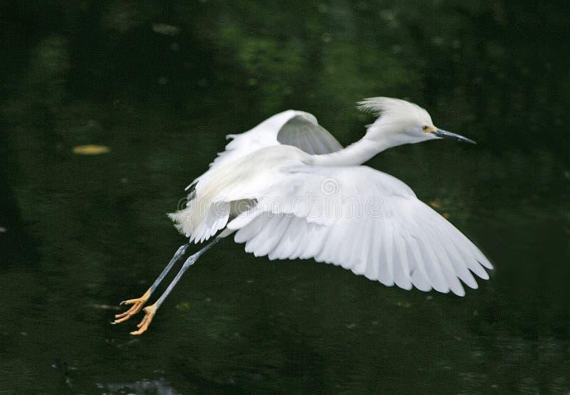 Egret di Snowy durante il volo fotografie stock libere da diritti