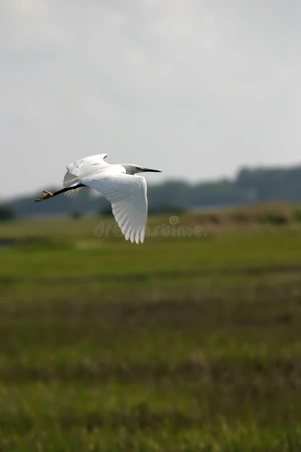 Egret di Snowy durante il volo fotografie stock