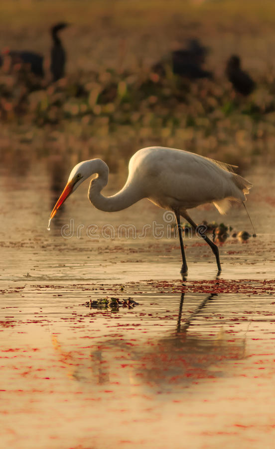 Egret in a different pose stock images