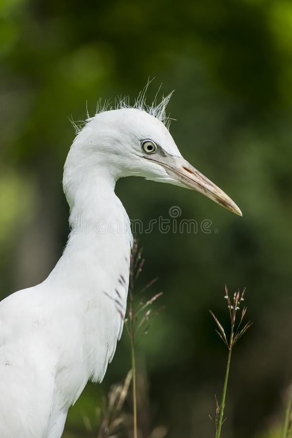 Egret do branco do bebê imagem de stock